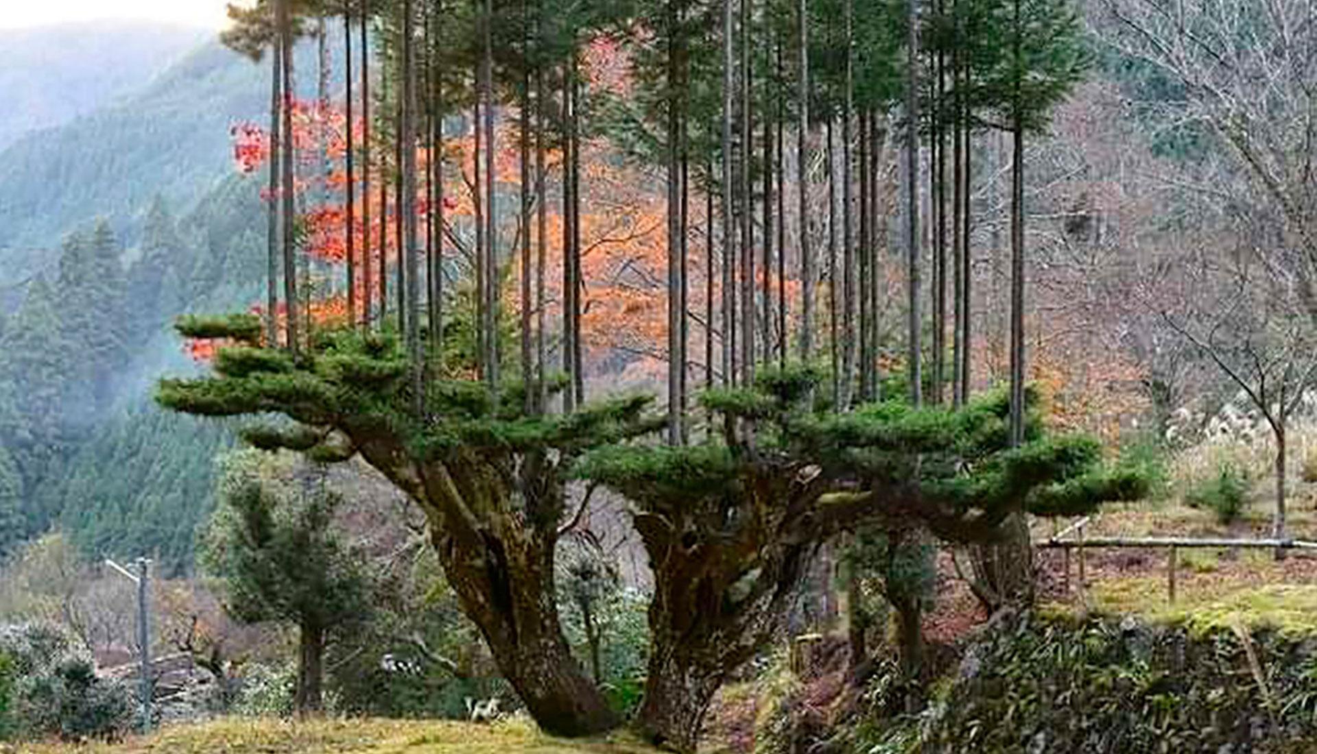 Японская технология дайсуги: древесина без вырубки