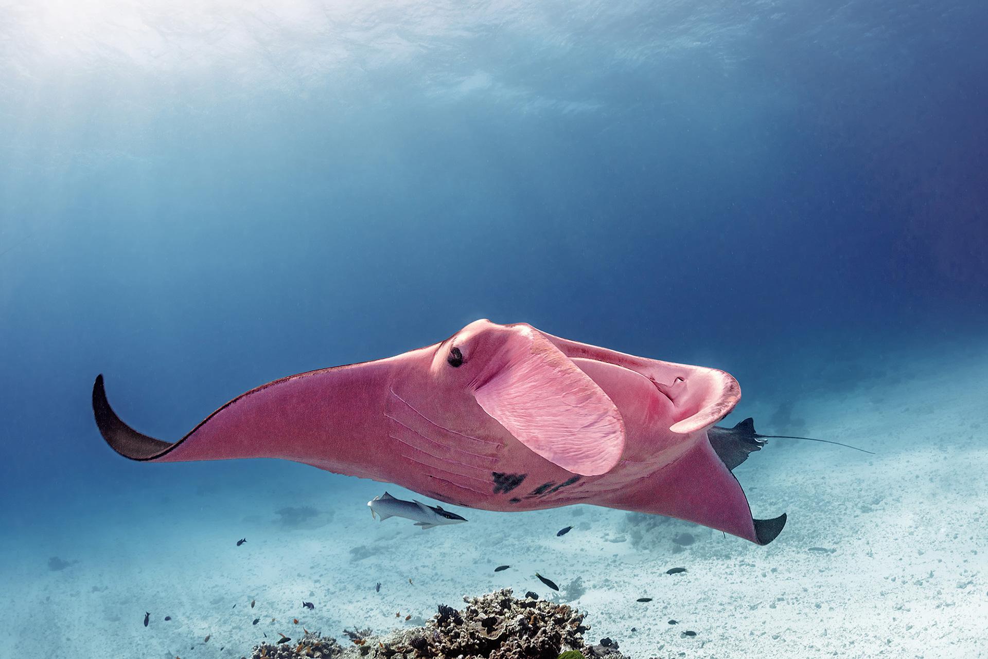 Розовый скат  фото